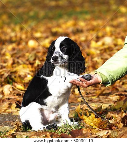 Puppy Of Russian Spaniel