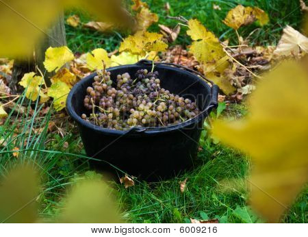 Pail Of Grapes