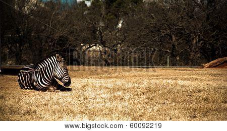 Lazy Zebra