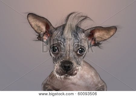 Close-up of a Chinese crested dog puppy looking at the camera, on gradient grey background