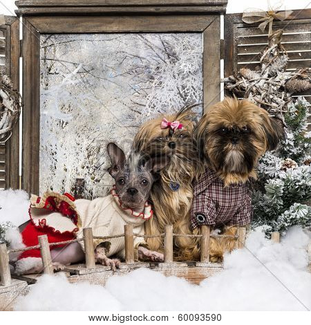 Dressed-up Shi tzu and Chinese crested dogs, in a winter scenery