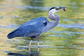foto of bluegill  - Great Blue Heron catches a small bluegill in soft focus