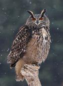 stock photo of snow owl  - A Eurasian Eagle Owl  - JPG