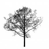 image of alder-tree  - Black leafless alder tree photo silhouette on white background - JPG