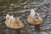pic of duck pond  - Couple of yellow swedish ducks on a pond - JPG