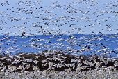 picture of geese flying  - Hundreds of Snow Geese Taking Off Flying In Response to Threat In Sunlight Skagit Valley Washington - JPG