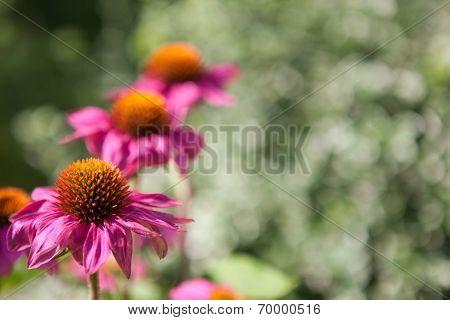 Blooming Echinacea Flowers