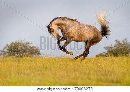 Grey horse run