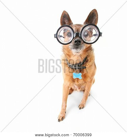 a cute chihuahua with glasses on an isolated white background
