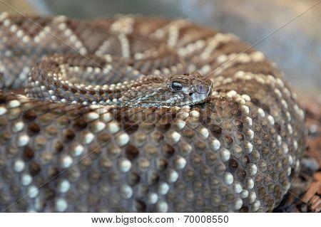 Western diamondback rattlesnake coiled over body