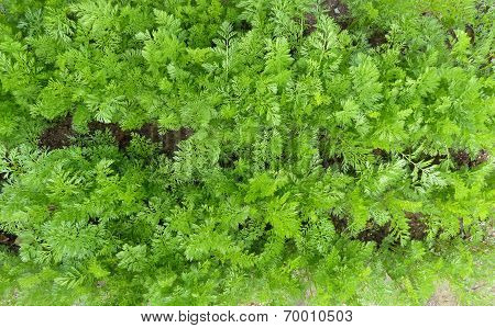 Carrots Growing Organic Garden