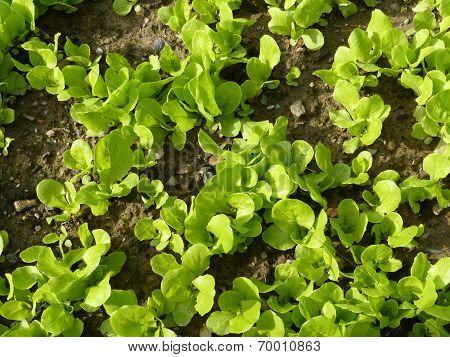 Organic Garden Salad Plants