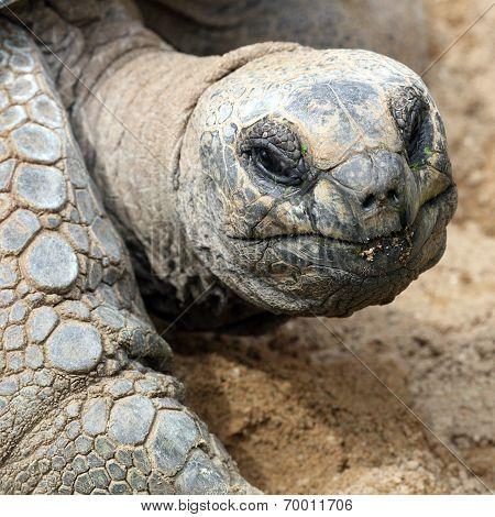 Aldabra Giant Tortoise, Aldabrachelys Gigantea