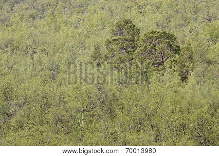 Taiga forest in the Nordic Arctic area.