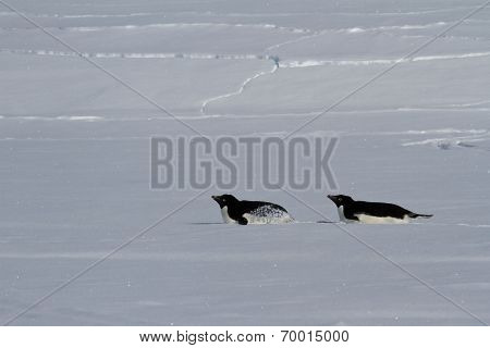 Two Adelie Penguin Who Crawl On Their Bellies Winter Day