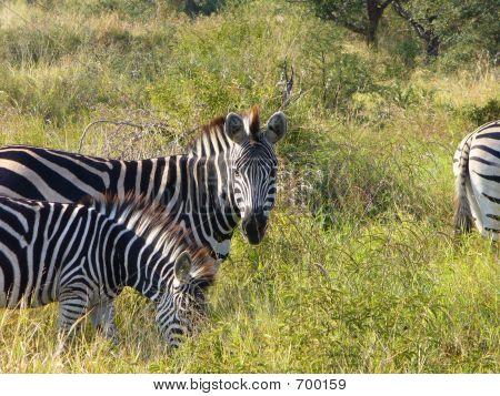 A Staring Zebra