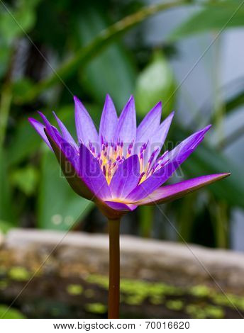 Purple Lotus,purple Waterlily..