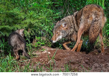 Coyote (canis Latrans) And Pup Stand Off