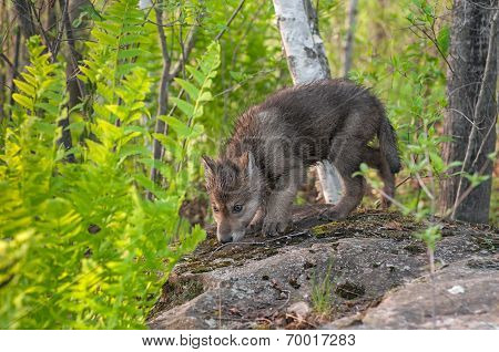 Grey Wolf Pup (canis Lupus) Sniffs Atop Rock