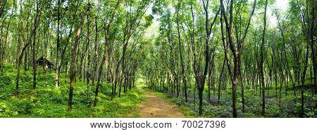 Enchanting forest lane in a rubber tree plantation, Kerela, India.