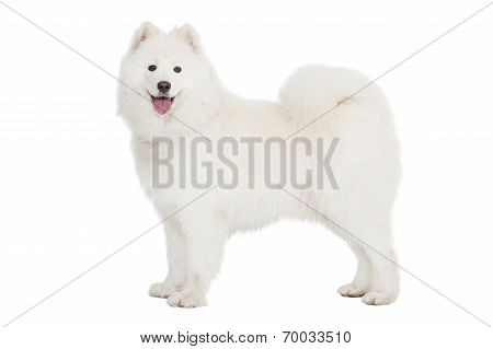 Samoyed Dog, Isolated On White