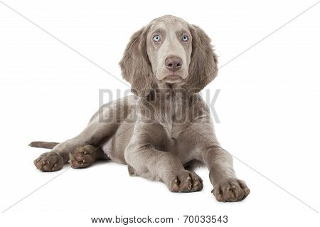 Weimaraner Puppy Over White, Three Months Old