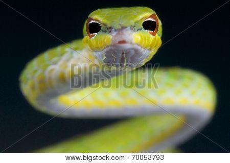 Vine snake / ahaetulla mysterizans