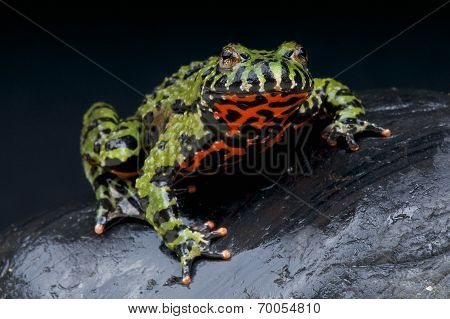 Fire-bellied toad / Bombina orientalis