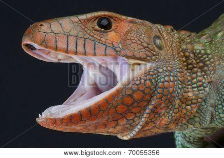 Caiman lizard / Dracaena guianensis