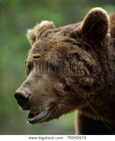 Brown Bear Scarred Face