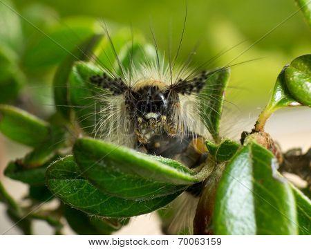 A Vapourer moth caterpillar