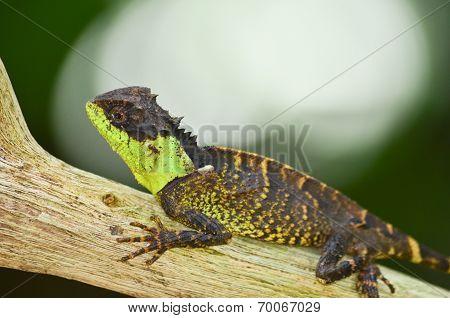 Spiny Lizard