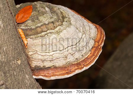 Close up of tinder fungus on tree trunk