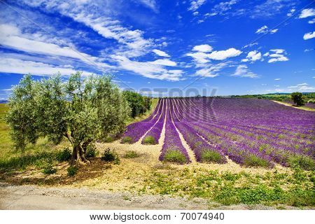 scenic landscapes of Provence with blooming lavande