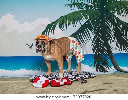 Bulldog on beach scene surfing