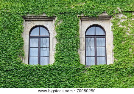 Facade Overgrown With Ivy Leaves, Two Arched Windows