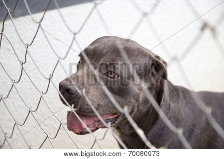 Black Dog Canne Corso Looking Out From Behind The Wire Mesh