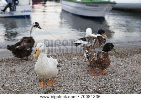 Ducks And Geese Walking Near Seaside