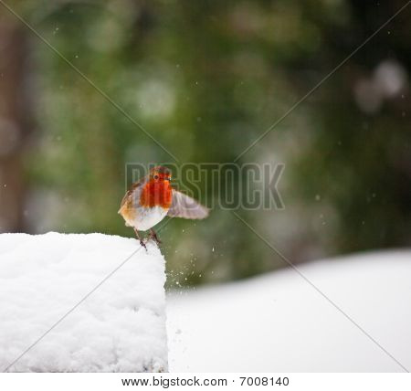 Red Robin In The Snow With Outstretched Wing