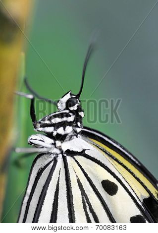 Closeup Of Sitting Black And White Structured Tropical Butterfly
