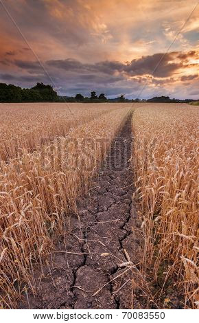 Drought Causing Cracked Mud In Wheat Field