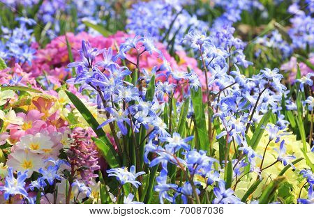 Springlike Flower Bed With Cowslip, Primula And Scilla