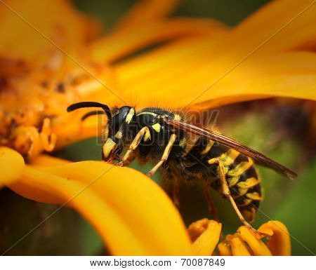 Wasp In Yellow Summer Flower