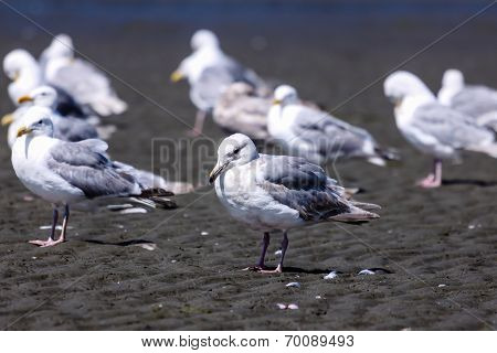 Seagulls On A Beach
