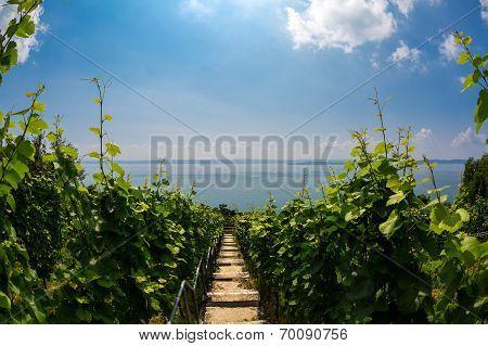 Meersburger Vineyard