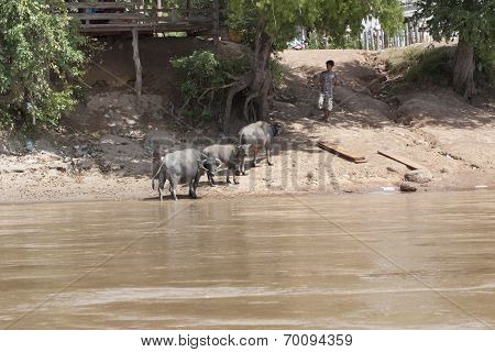 Champasak Loas-november 22 :water Buffalo Local Cattle Standing On Mekong River Bank In Champasak Di