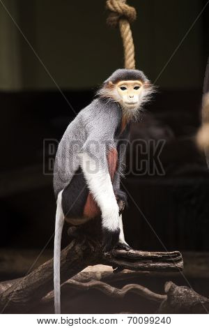 Red-shanked Douc Langur On The Tree