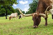picture of texas-longhorn  - Closeup of Texas Longhorn grazing on pasture - JPG