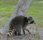 image of raccoon  - Young Raccoon Walking Near A Tree  - JPG