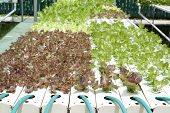 stock photo of hydroponics  - Young hydroponic vegetable grown in a nursery - JPG